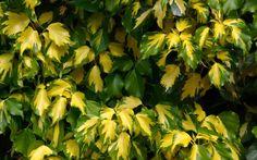 Hedera helix 'Goldheart'  Botanischer Garten Triest  (Foto: T. Grünewald)