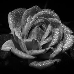 'Black & white rose' on Picfair.com Photography Store, White Roses, Black And White, Prints, Image, Black N White, Black White