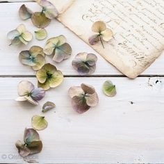Floral still life photography  Faded hydrangea on by CristinaColli