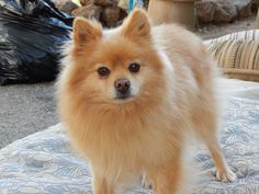 Theodore is a 5-year-old Pomeranian who weighs 8 pounds. He gets along well with other dogs and is compatible with most kinds of homes. $250 adoption fee. Contact to apply. Pets Without Partners adoption events are 10 a.m. to 3 p.m. Saturdays at PetSmart in Redding. Call at 243-6911. Go to www.petswithoutpartners.org.  See more pets at www.redding.com.
