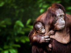 Un bébé orang-outan et sa mère, au zoo Ouwehands de Rhenen, aux Pays-Bas, le 8 juin.