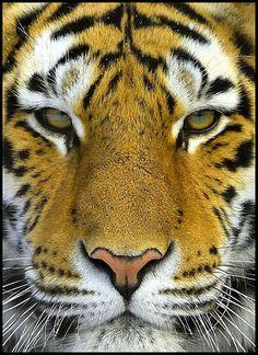 TIGRE DE BENGALA. Es el miembro más grande de la familia de los félidos. Vive en Asia y pertenece al mismo género que el león, algunos leopardos y el jaguar. La especie se divide en dos subespecies principales, el tigre de Siberia o tigre siberiano y el tigre de Bengala. Se piensa que la forma actual de tigre se originó en el norte de Asia durante el pleistoceno y que después se extendió hacia el sur, atravesando la cordillera del Himalaya hace unos 10.000 años.