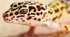 Have students take a close look at April's #iScience animal, Eublepharis macularius - The Leopard Gecko! Www.Mheonline.com/iscience  #scichat