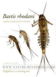 Odonata dragonfly larva aquatic highly predacious for Fly fishing entomology