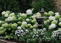 Annabelle hydrangeas in white garden