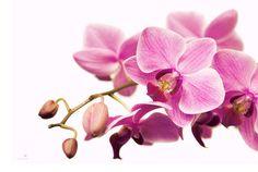 pink orchid Buddha Zen, Pink Orchids, Spring Has Sprung, Beauty Art, Spring Flowers, Fine Art, Art Prints, Plants, Ale