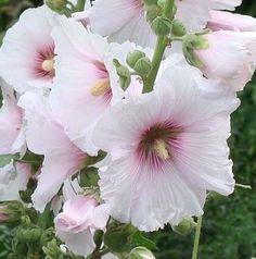 Heirloom Hollyhock Flower Рink