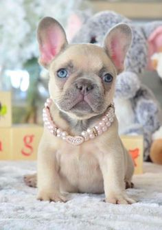 The major breeds of bulldogs are English bulldog, American bulldog, and French bulldog. The bulldog has a broad shoulder which matches with the head. Blue French Bulldog Puppies, Bulldog Puppies For Sale, Cute French Bulldog, Cute Dogs And Puppies, Teacup French Bulldogs, Doggies, Pet Dogs, Blue French Bulldogs, Blue Bulldog