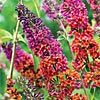 Kaleidoscope Butterfly Bush    I want one of these!