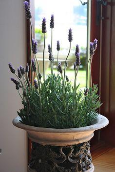 a lavender cottage . X ღɱɧღ Lavender Cottage, Lavender Garden, Lavender Blue, Lavender Fields, Lavender Flowers, Lavander, Growing Lavender, Perfume, Indoor Plants