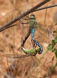Emperor dragonflies mating