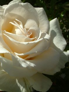 Oderings Garden Centre | Hybrid Tea Bush Rose - Racy Lady.