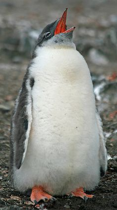 Gentoo penguin chick 15
