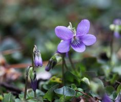 Spring violet seeds tiny purple flowers by narceine on Etsy, $2.75