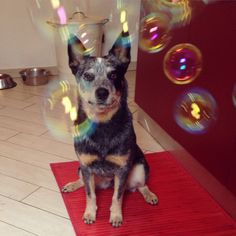 blue heeler and bubble
