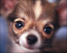 chihuahua  what a sweet face to greet you each morning