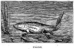L'axolotl. (gravure)