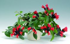 aeschynanthus better known as lipstick plant