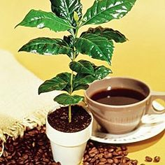 Coffee Plant - House Plants - House and Patio Plants - Gurney's Seed & Nursery