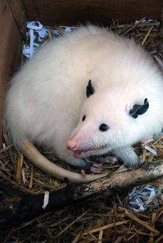 OpossumSnoopy.jpg (2592×3872)