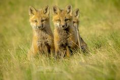 Trio on alert Red Fox, Foxes, Cubs, Nature, Naturaleza, Red Tail Fox, Tiger Cubs, Off Grid, Natural