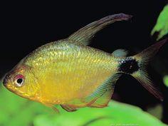 Hyphessobrycon heliacus