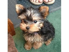 Animals - Yorkie puppies available tiny size they are current on all shots.They are home raised puppies,all teacup Yorkie and are . Best Puppies, Cute Puppies, Cute Dogs, Dogs And Puppies, Corgi Puppies, Bear Dogs, Fluffy Puppies, Spaniel Puppies, Retriever Puppies