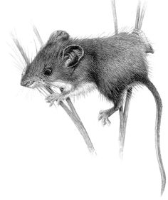 Eamon looked like a mouse when he was born thinking of getting something like this Animal Sketches, Animal Drawings, Pencil Drawings, Art Sketches, Art Drawings, Mouse Sketch, Mouse Illustration, Stippling Art, Mouse Tattoos