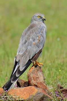 Montagu's Harrier by Anup Deodhar on 500px