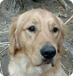 Golden retriever rescue washington dc