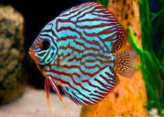 Discus fish has been my favorite type of aquarium fish since I ve seen them for the first time. You need to spend time and money if you want to maintain a Discus fish aquarium at home. Pretty Fish, Beautiful Fish, Guppy, Aquascaping, Diskus Aquarium, Discus Fish For Sale, Acara Disco, Fish List, Vida Animal