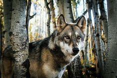 Facts About Wolves, Wolf Hat, Wolf Totem, Geometric Wolf, Wolf Canvas, Wolf Stuff, Dire Wolf, Wolf Pictures, Types Of Dogs
