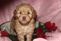 Labradoodle Puppies For Sale, Mini Puppies, Pennsylvania, Dogs, Animals, Animales, Labrador Puppies For Sale, Animaux, Doggies