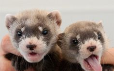 Happy News for This Adorable Animal Once Declared Extinct in North America - - - -When you hear about an animal becoming extinct, most assume that the species is gone for good, never to be seen again.  That's not the case for North America's rarest mammal, the black-footed ferret. 35 years after being declared extinct, the adorable critter is re-emerging in the western U.S. and Canadian prairie land.
