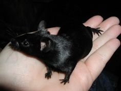 Fancy Mouse - BLACK The breed standard of this variety should be totally black with no white or grey including feet, ears and tails. Cute Creatures, Beautiful Creatures, Animals Beautiful, Black Animals, Animals And Pets, Cute Animals, Felt Animals, Hamsters, Rodents