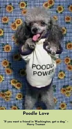 """""""It all started when my dog began getting free roll over minutes. Best Dog Breeds, Best Dogs, Poodle Mix, Poodle Puppies, Poodle Cuts, I Love Dogs, Cute Dogs, Animals And Pets, Cute Animals"""