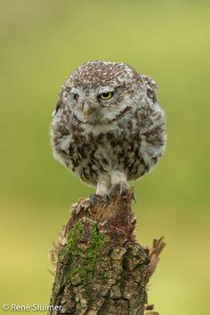 Screech Owl                                                       …                                                                                                                                                     More