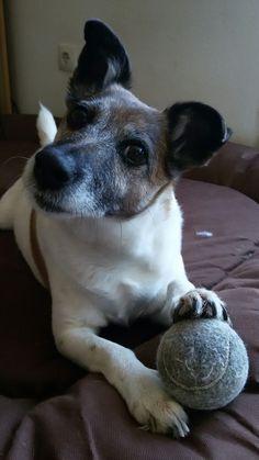 Jack Russell Terrier Cutie!