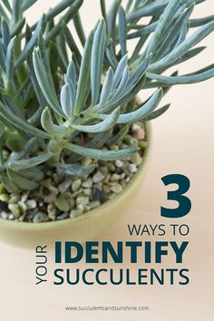 Ways to Identify your Succulents I've been trying to figure out what succulents I own and this post was super helpful!I've been trying to figure out what succulents I own and this post was super helpful! How To Water Succulents, Types Of Succulents, Propagating Succulents, Growing Succulents, Succulent Gardening, Succulent Care, Succulent Terrarium, Planting Succulents, Container Gardening
