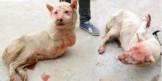 """A fate worse than death'' Stop the torture and killing of dogs and the festival of dog meat in... (7960 signatures on petition)"