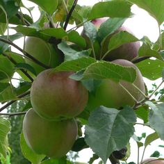 Gravenstein apples almost ready for harvest