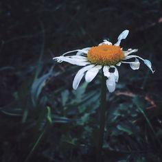 She's seen better days...sunny days.  #wv_igers #ig_wv #westvirginia #wildandwonderful #almostheaven #rsa_nature #iheartnature #instanature #petals #fall #flowers #wildflowers #jj_mextures #nature #naturelovers #mellow_mextures #mextures #mexturesapp