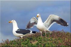 Western Gulls by Dagmar Collins, via Flickr