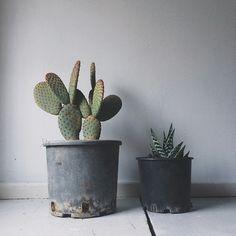 Newcomers-cactus-cacti-homesweethome.jpg (640×640)