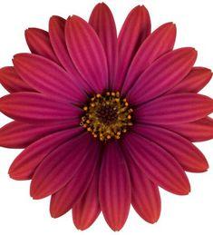 Tähtisilmä 'Irene' Irene, Plants, Air Fresh, Garden Planning, Plant, Planets