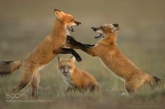 The Spectator by PhotographyByHenrik #animals #animal #pet #pets #animales #animallovers #photooftheday #amazing #picoftheday
