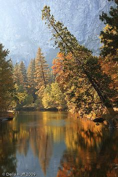 The Leaning Tree Over The Merced River - Yosemite National Park,  California