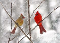 Snowy Cardinals Winter Birds Male & Female Fine Art Original Fine Art Photo Print - pinned by pin4etsy.com