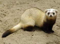 Steppe polecat (Mustela eversmanii)