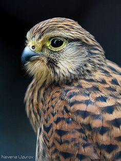 Nevena Uzurov - Falcon eye   Nevena Uzurov   Flickr